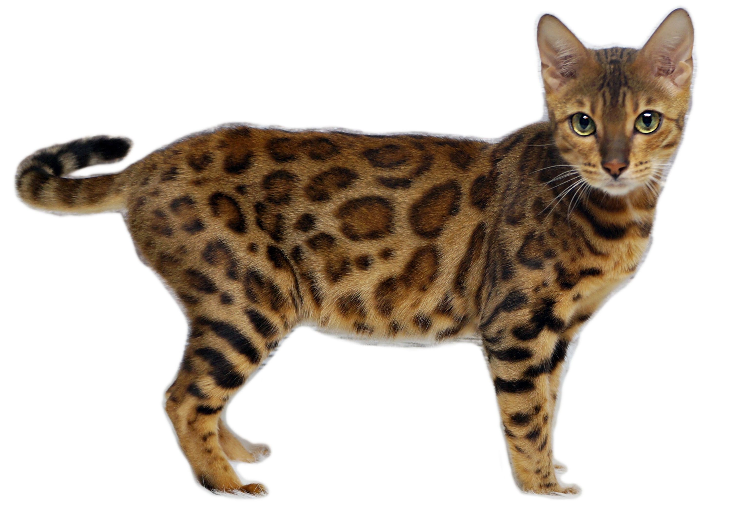 Harmony eleanorcats bengal brown spotted rosettes