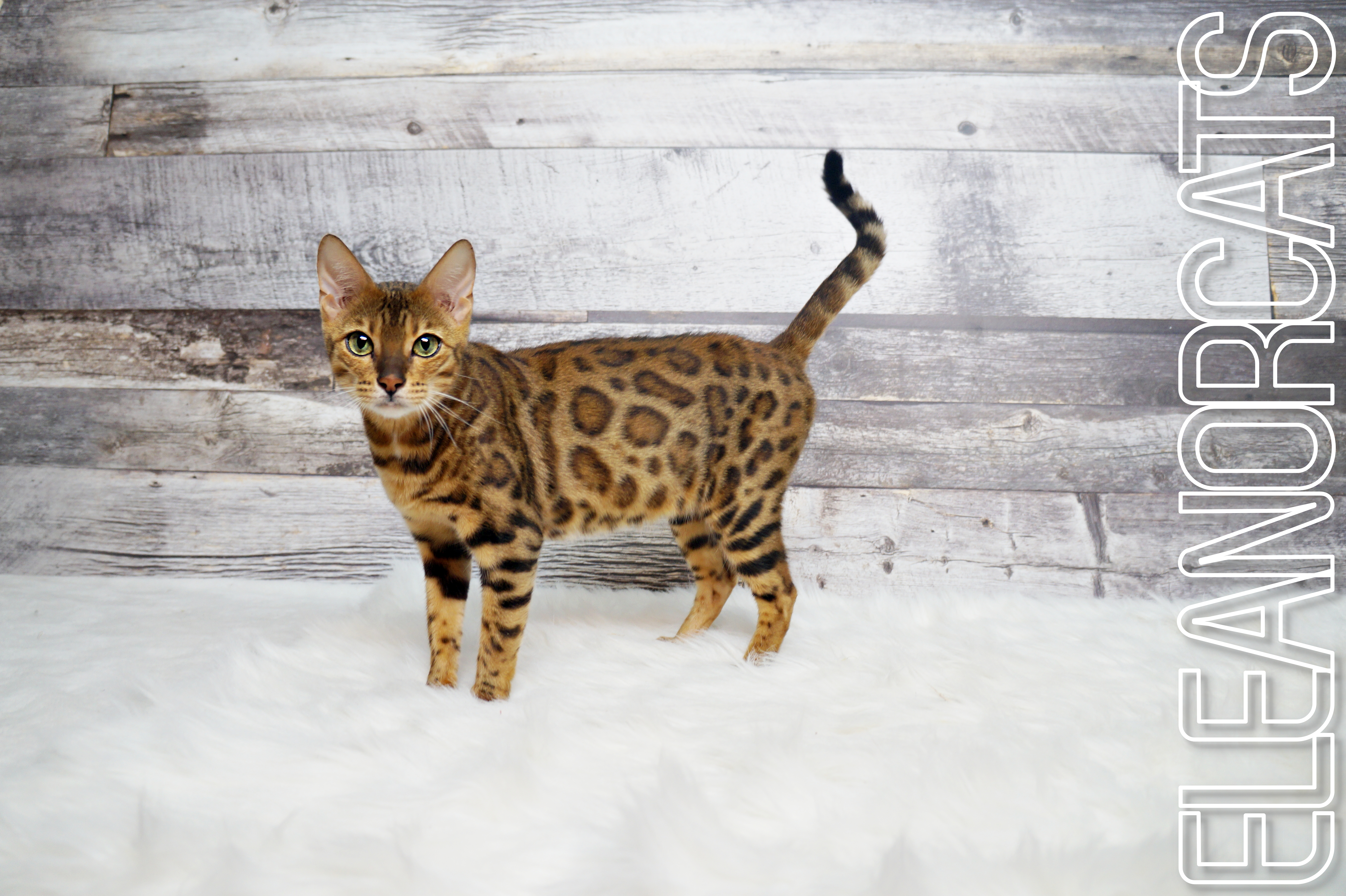 ELEANORCATS bengal brown
