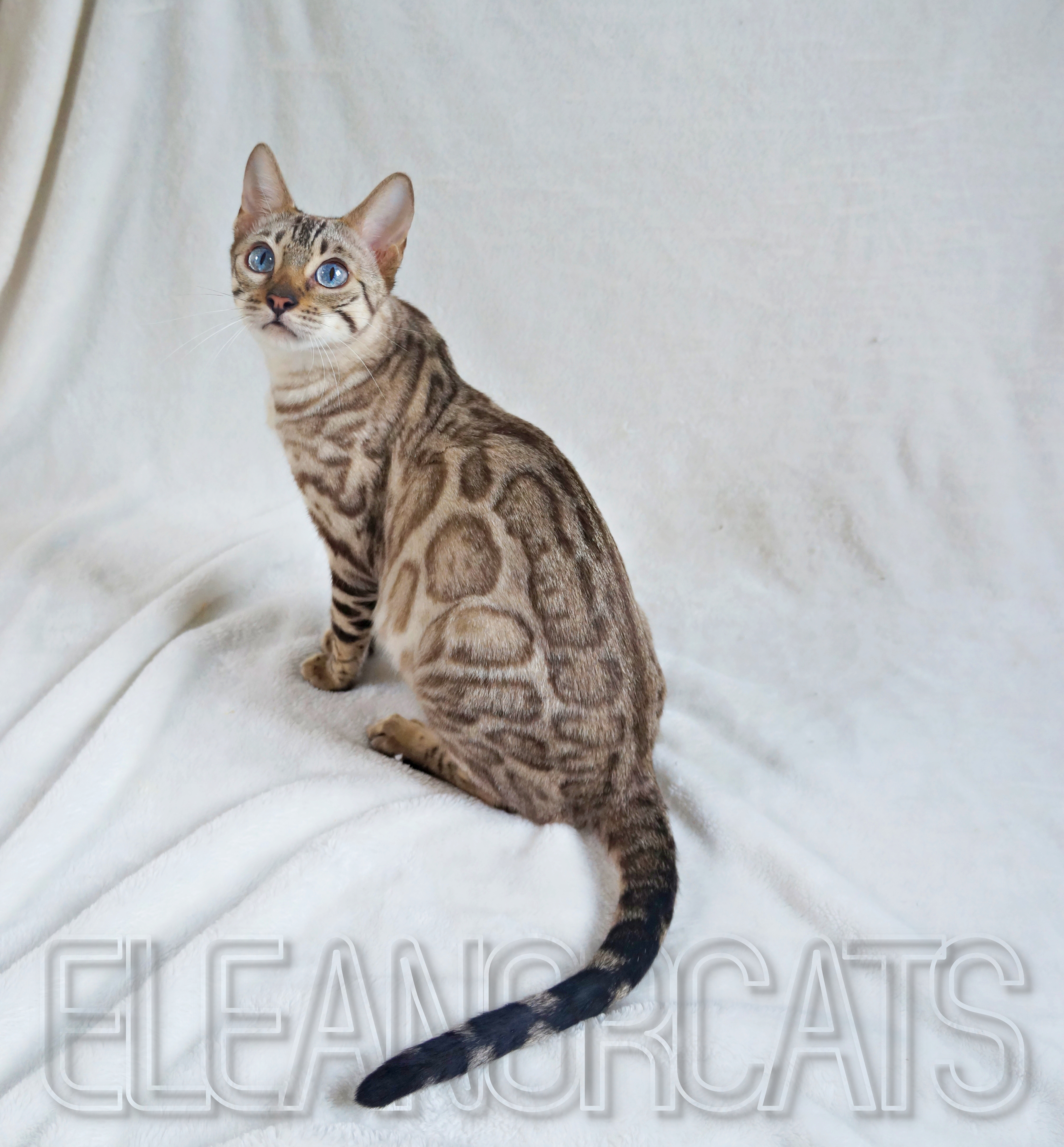 ELEANORCATS Diamond bengal snow lynx blue eyes
