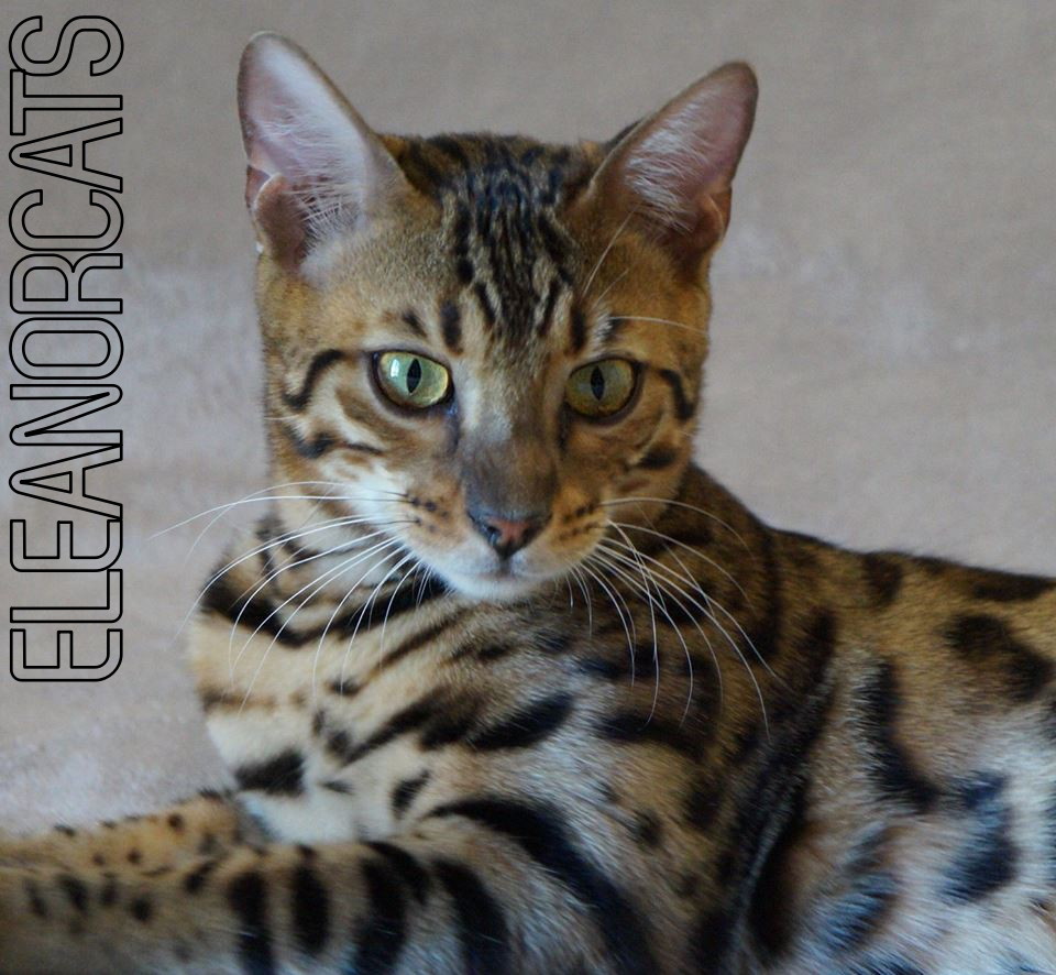 Majestic ELEANORCATS CHAT BENGAL BROWN