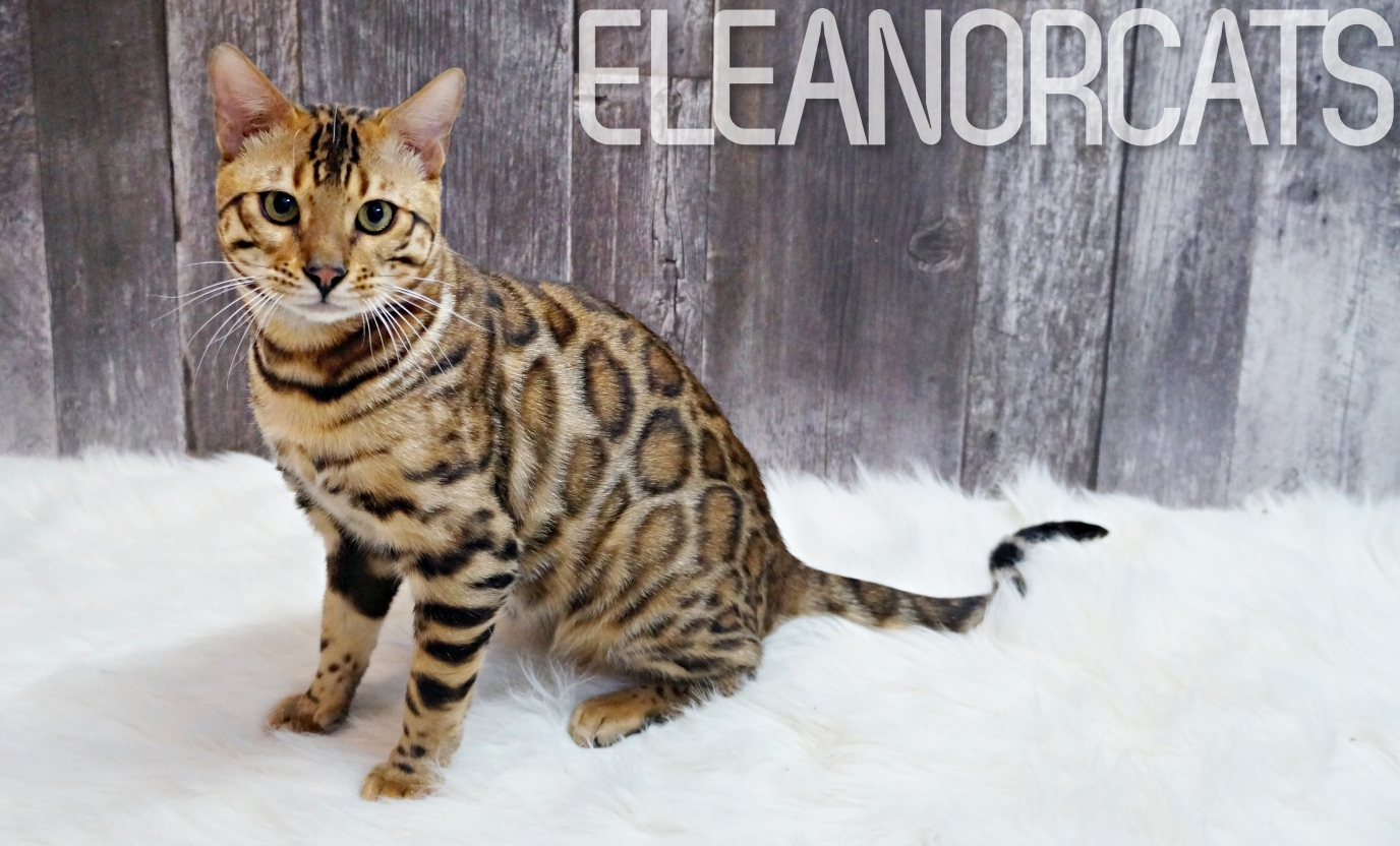 Velvet ELEANORCATS bengal brown