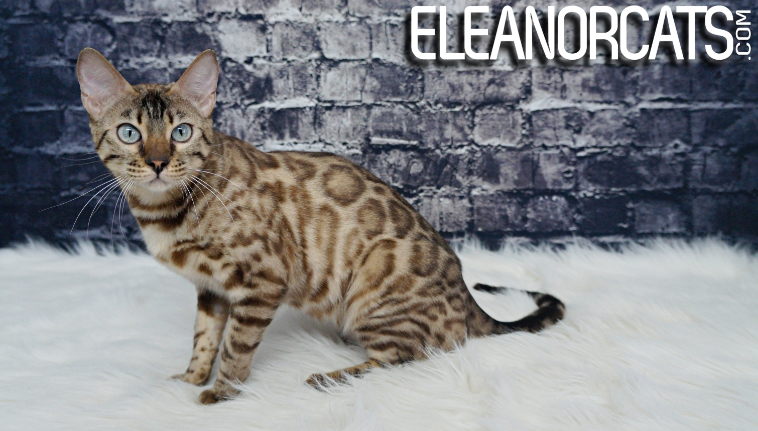 ELEANORCATS Osoyoos bengal seal mink spotted tabby
