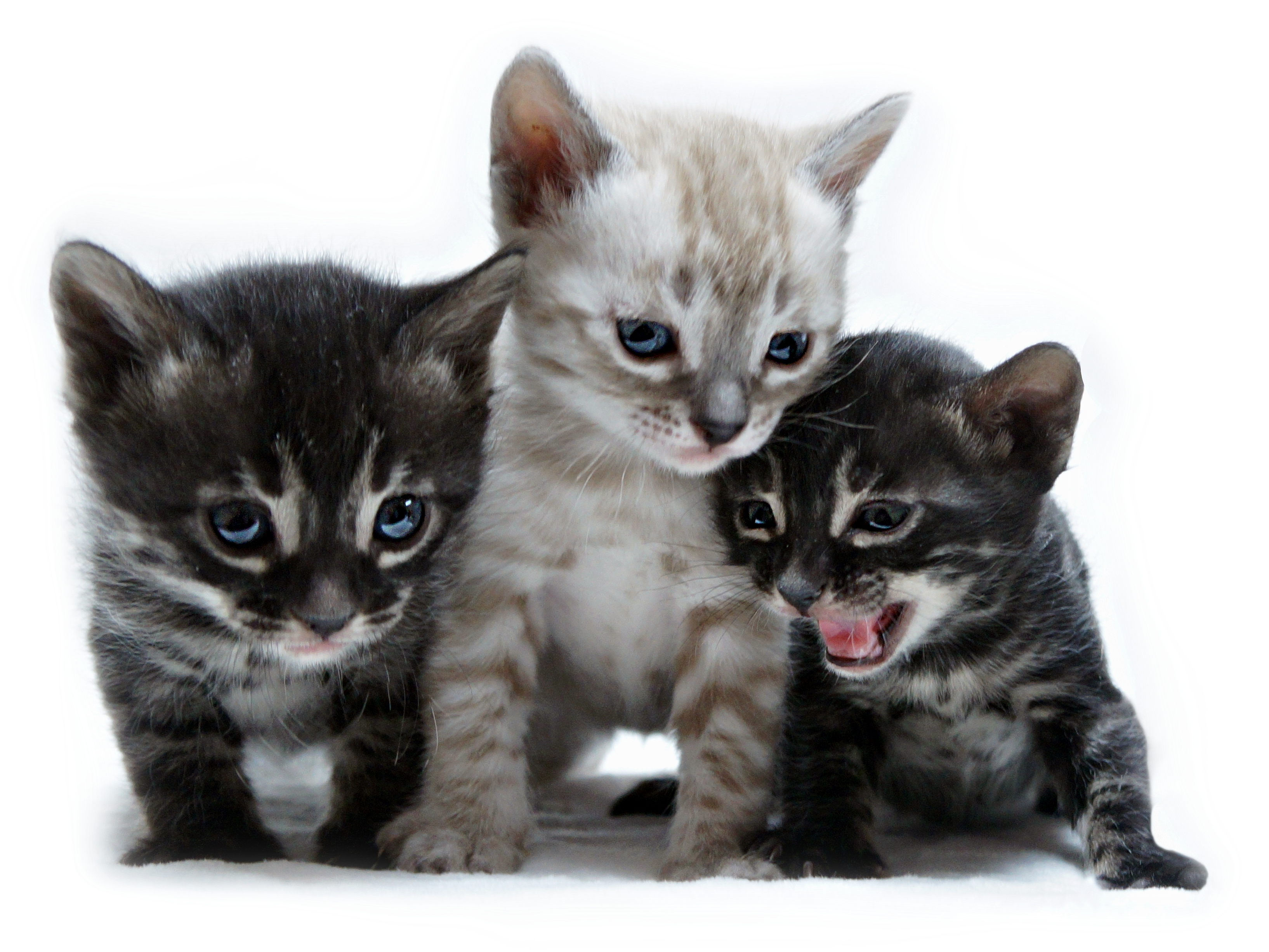 3 chatons bengal eleanorcats charcoal silver snow
