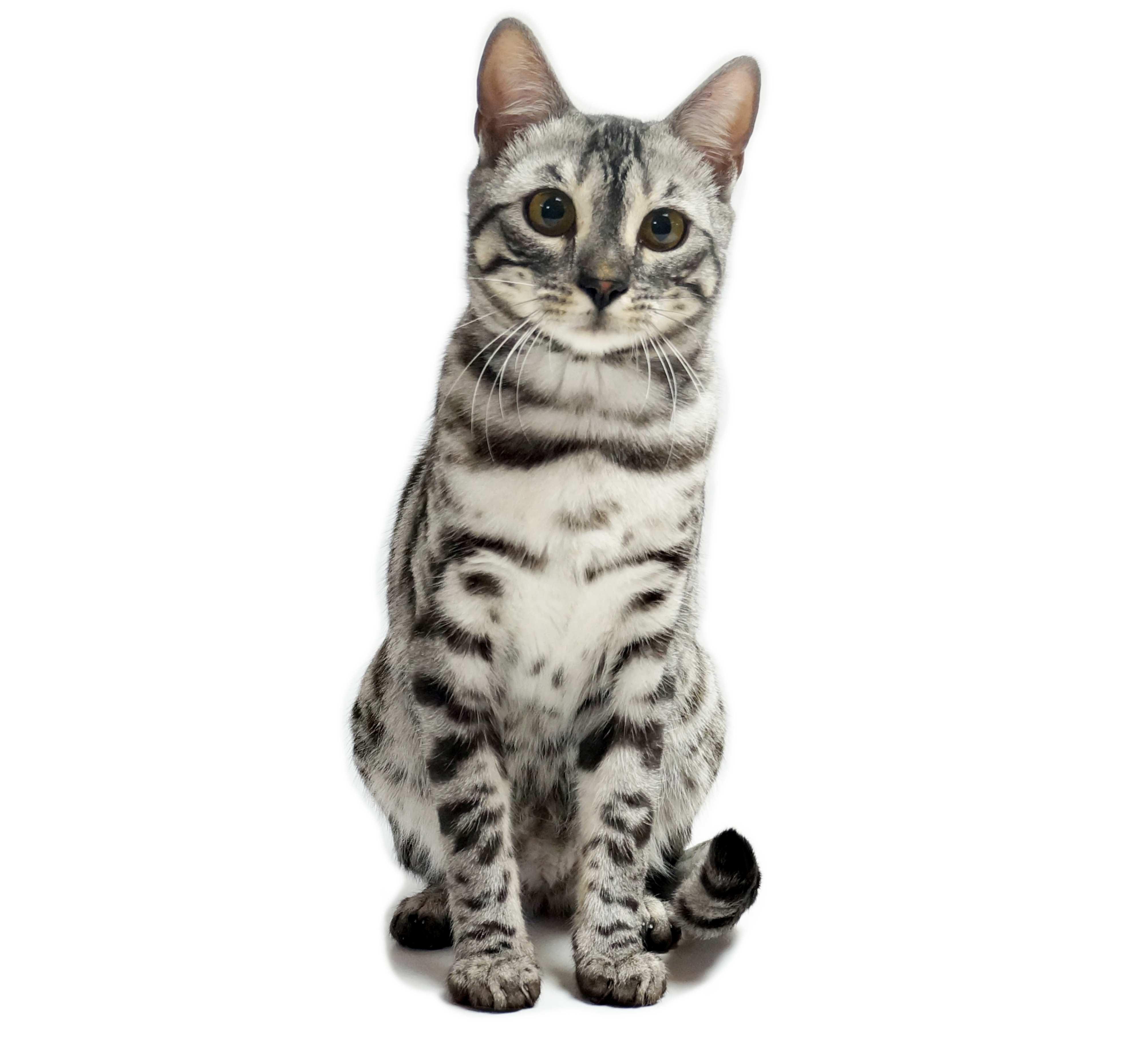Everest chat bengal silver charcoal eleanorcats