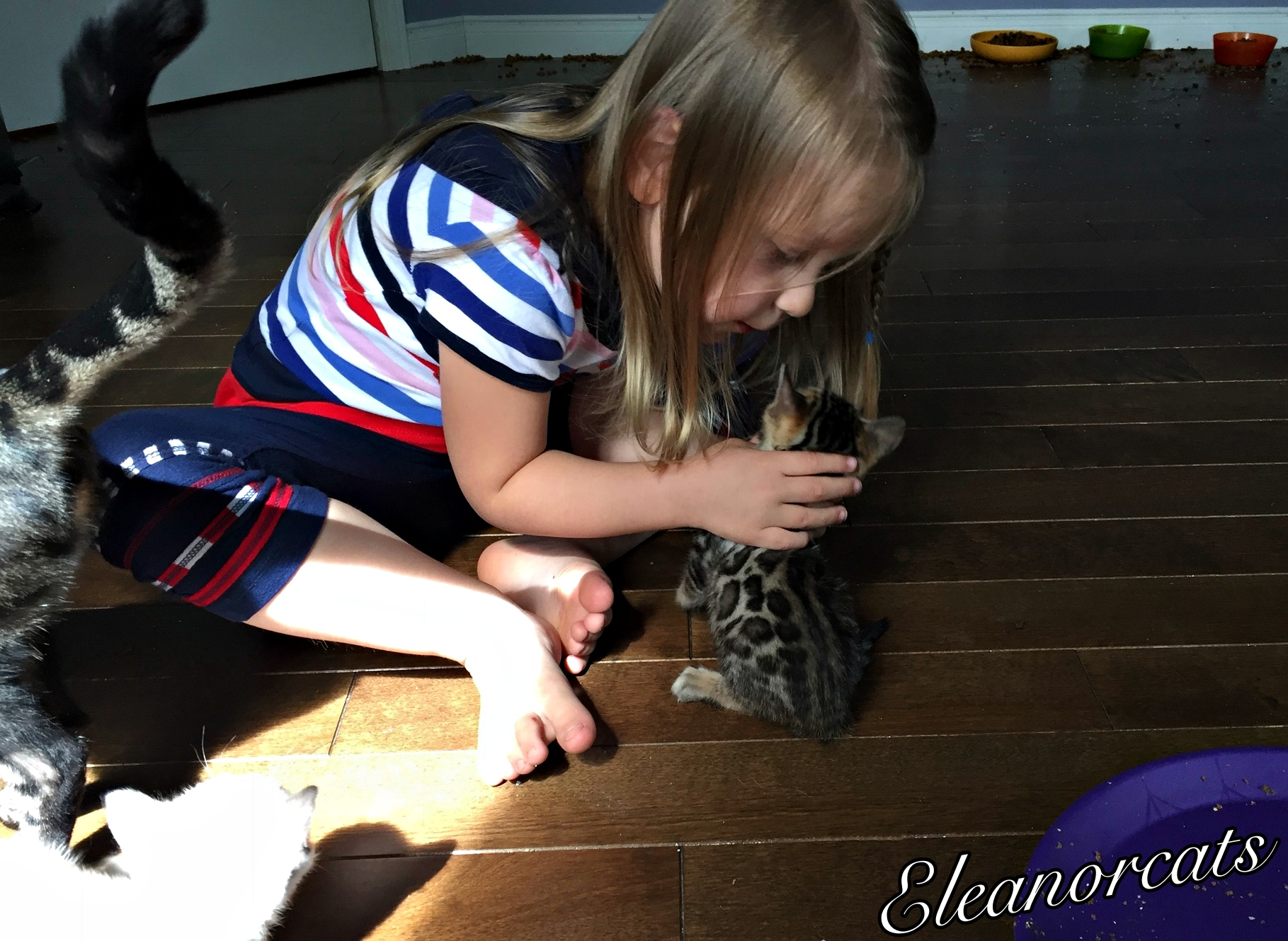 Amelyann chaton socialisation bengal eleanorcats