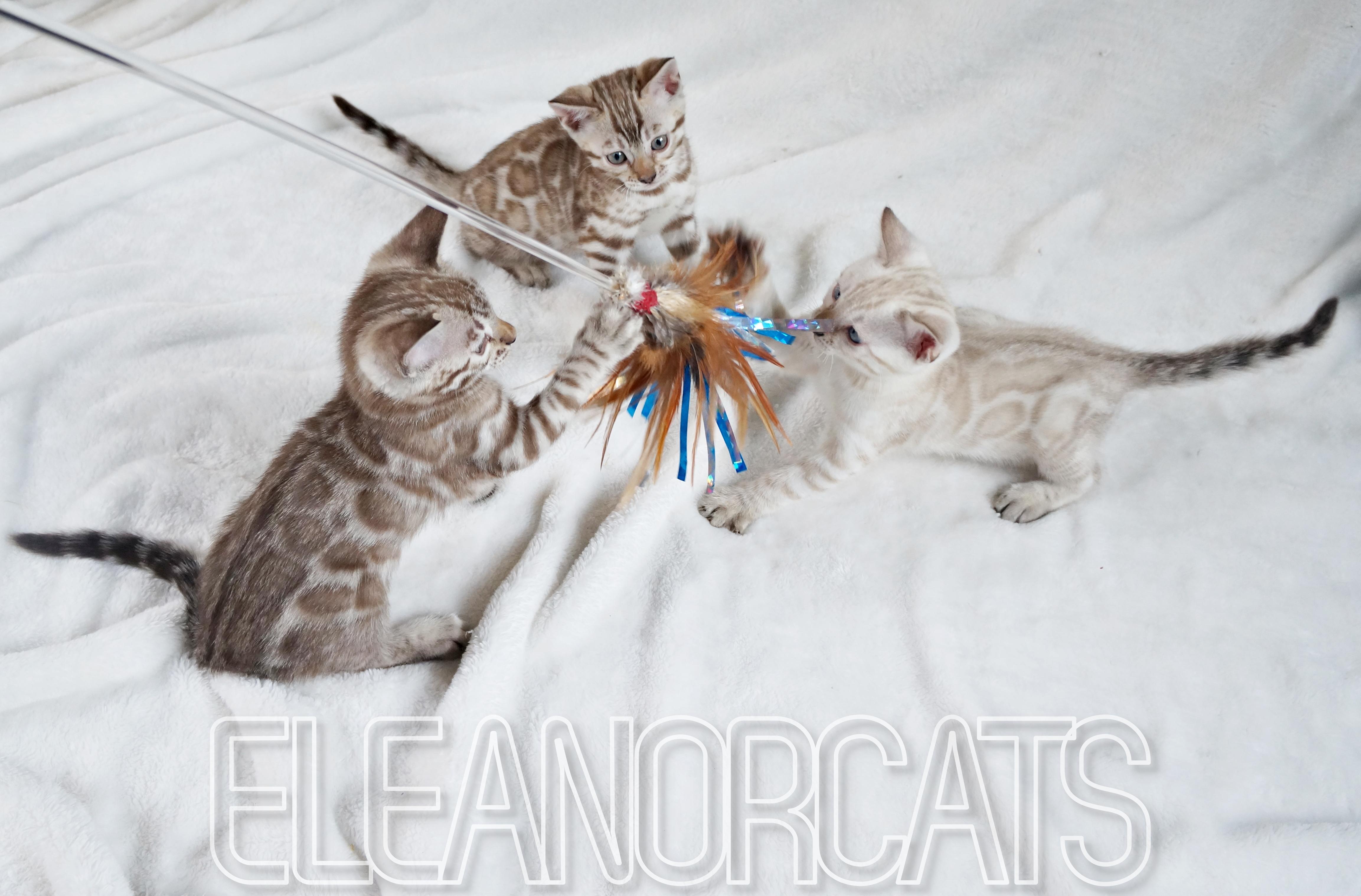 Trio de chatons, bb Diamond bengal eleanorcats