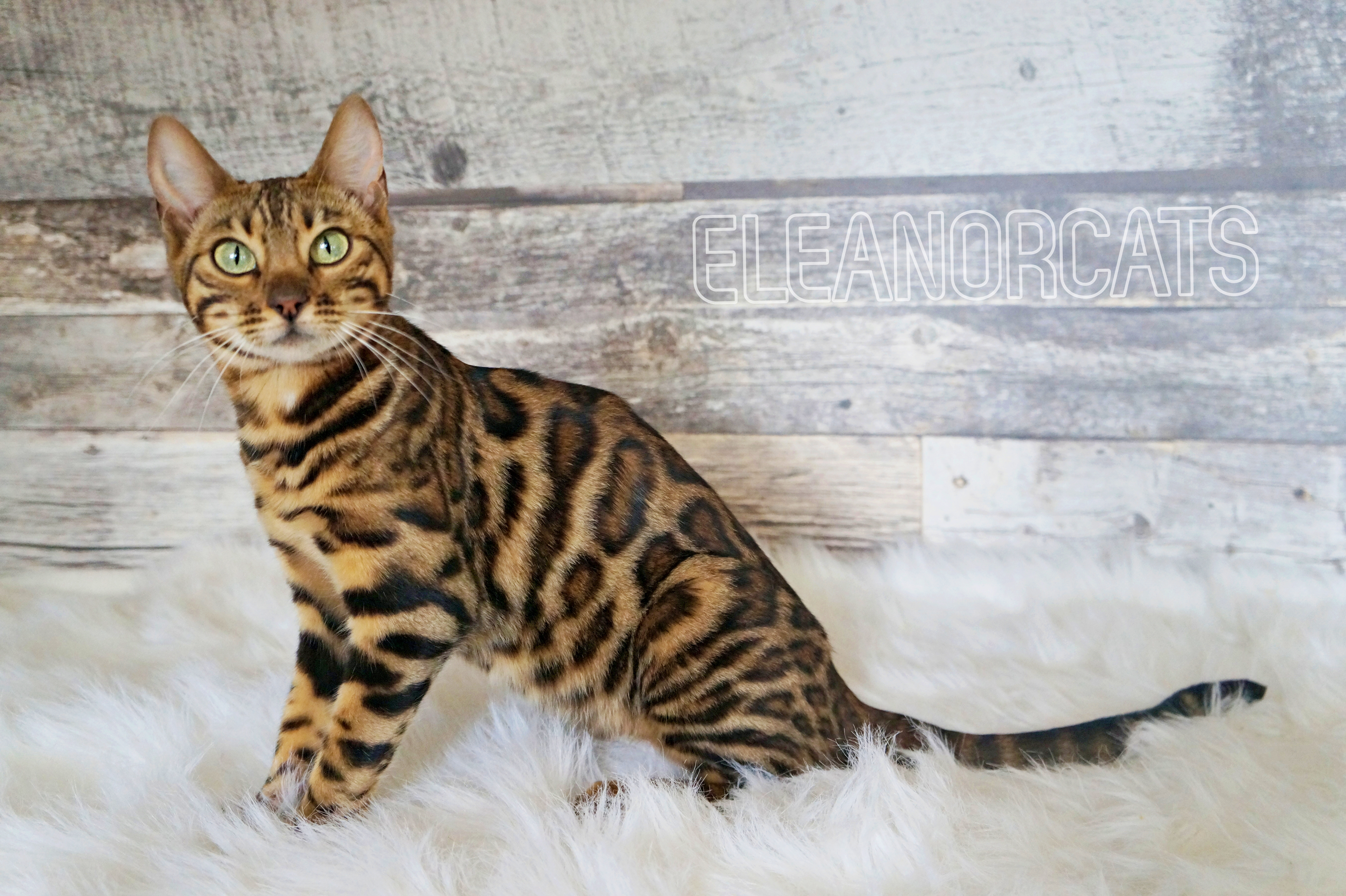 ELEANORCATS Sahara bengal cat brown spotted tabby