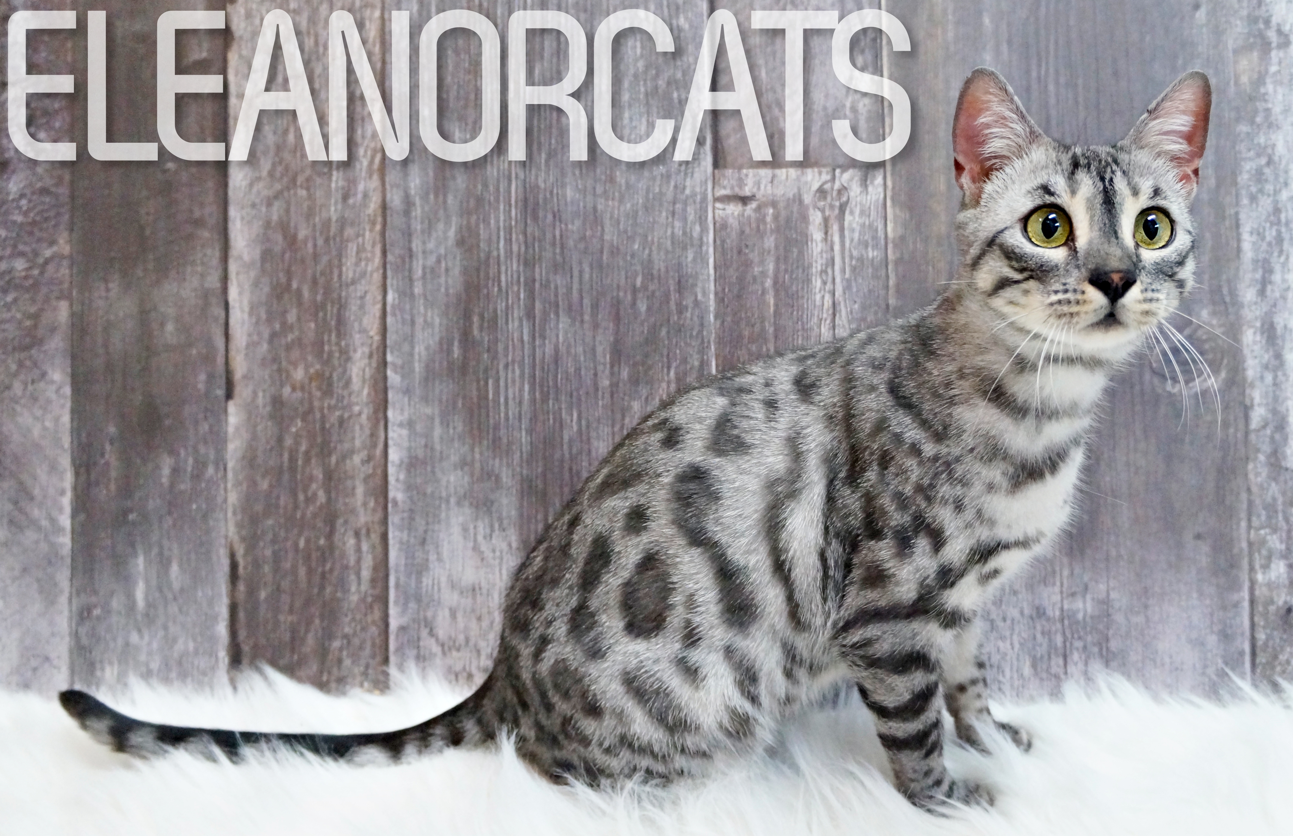 ELEANORCATS Everest silver charcoal bengal