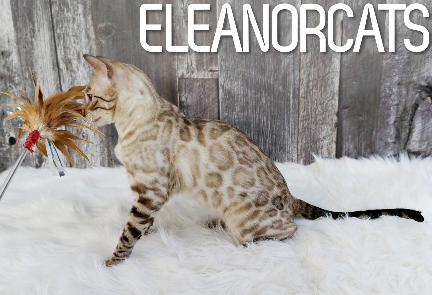 ELEANORCATS Alana Seal lynx bengal snow