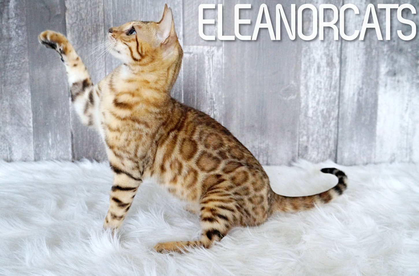 You My Soul ELEANORCATS bengal brown