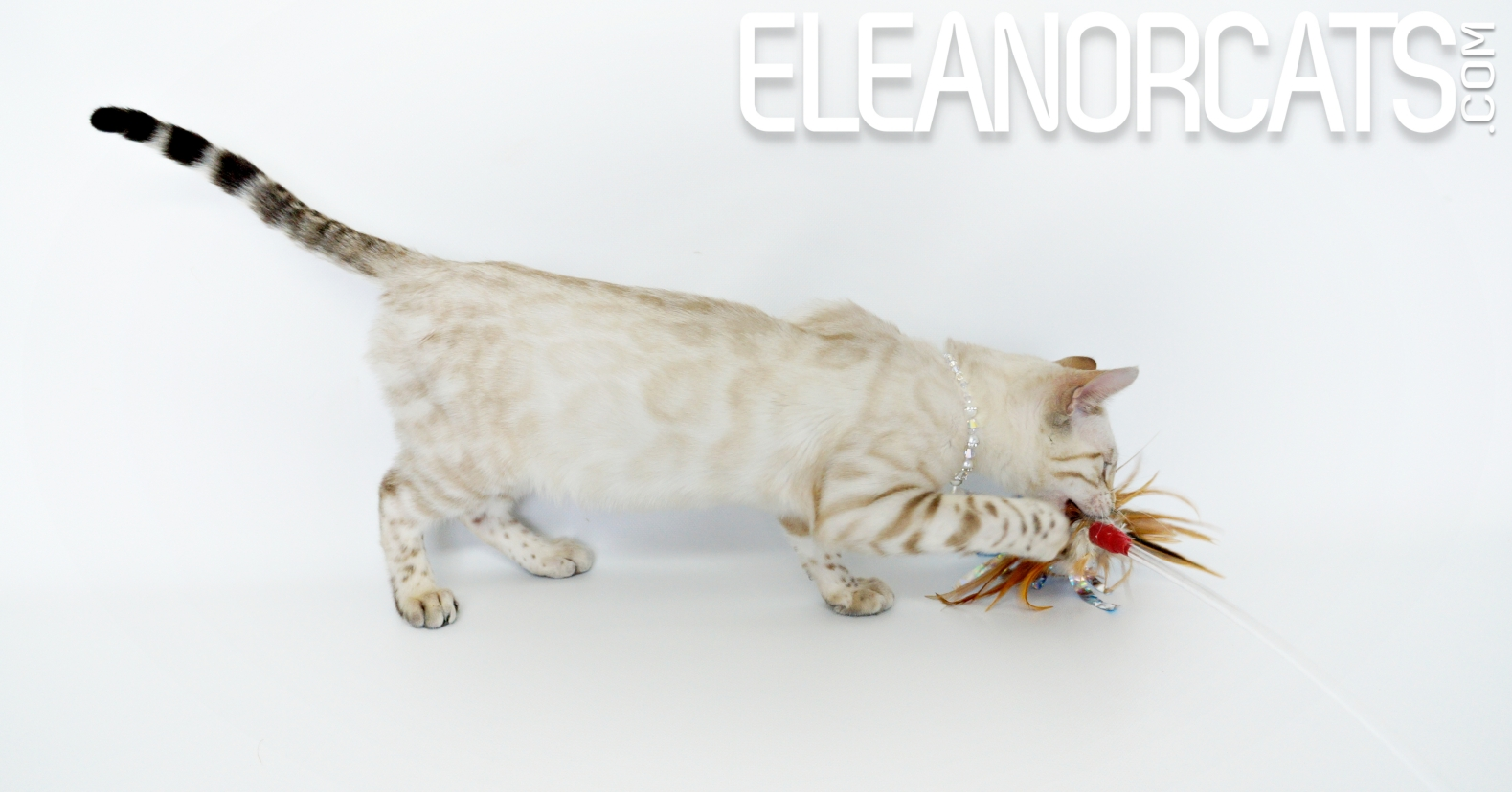 Crystal ELEANORCATS Bengal seal lynx spotted