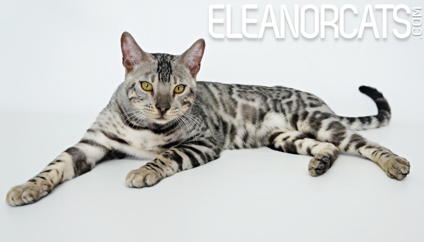 Bengal silver ELEANORCATS