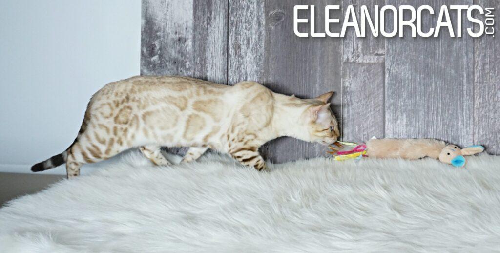bengal seal lynx eleanorcats