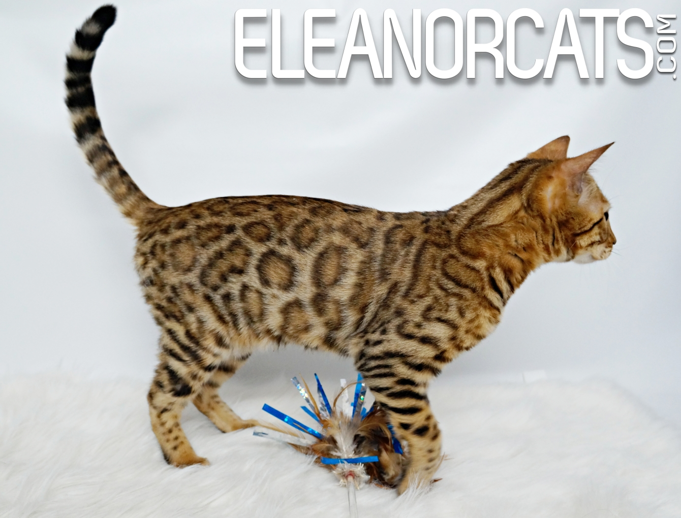 Pacifica bengal brown eleanorcats