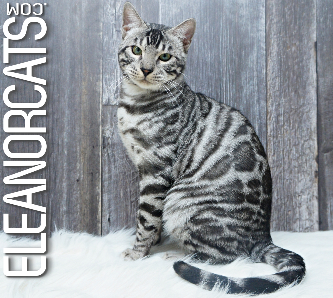 Bengal silver