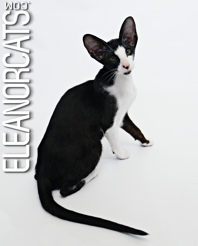 Oriental Shorthair noir et blanc