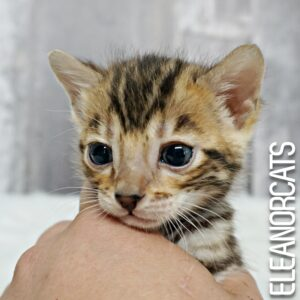 bengal brown chaton kitten eleanorcats