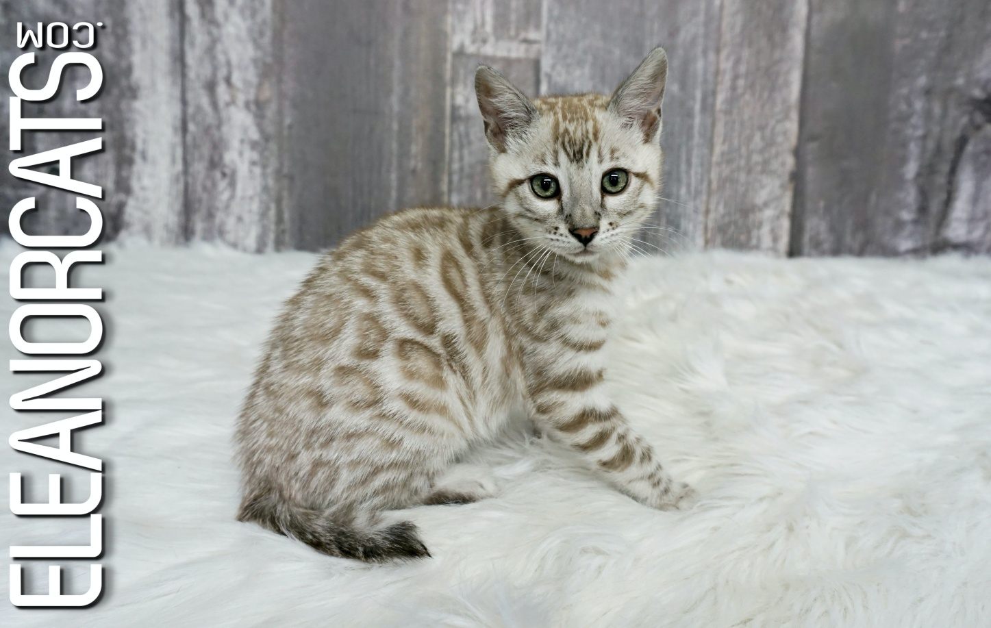 eleanorcats bengal silver mink