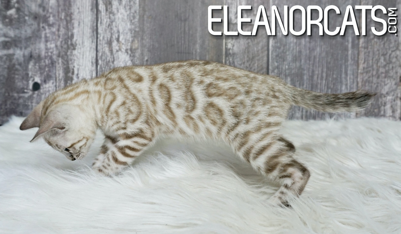eleanorcats bengal silver mink