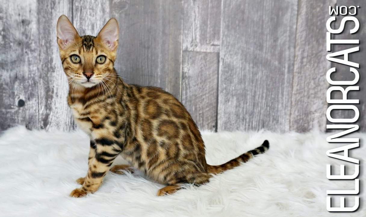Bengal Brown Spotted ELEANORCATS