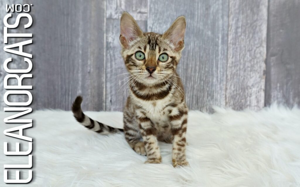 Bengal sepia spotted tabby ELEANORCATS