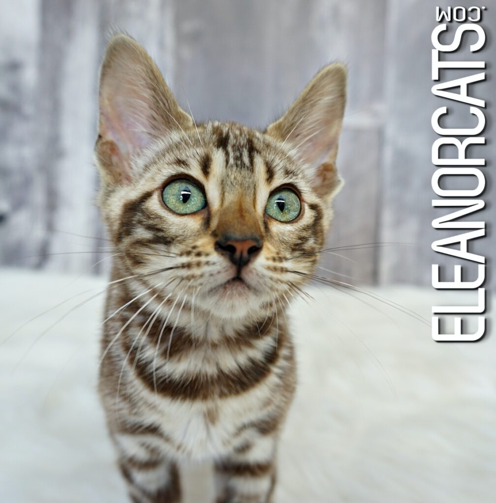 Bengal sepia spotted tabby ELEANORCATS green eyes