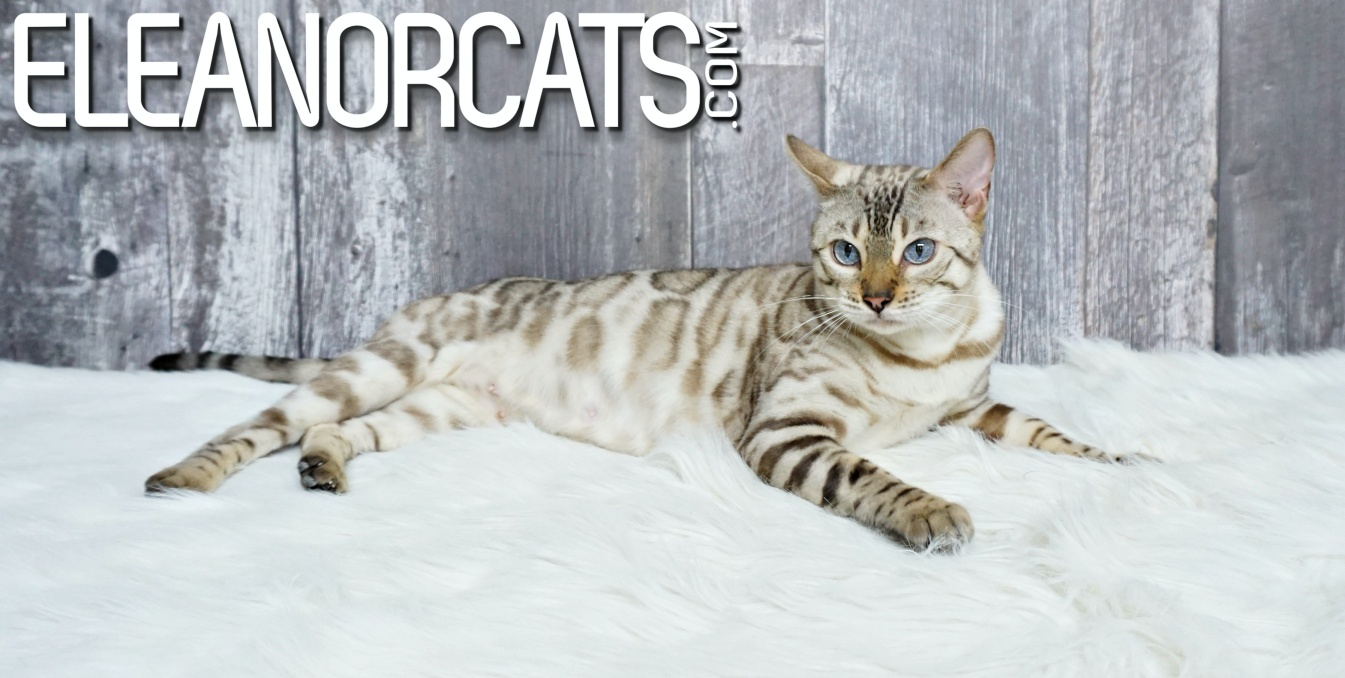 Bengal seal lynx spotted tabby eleanorcats