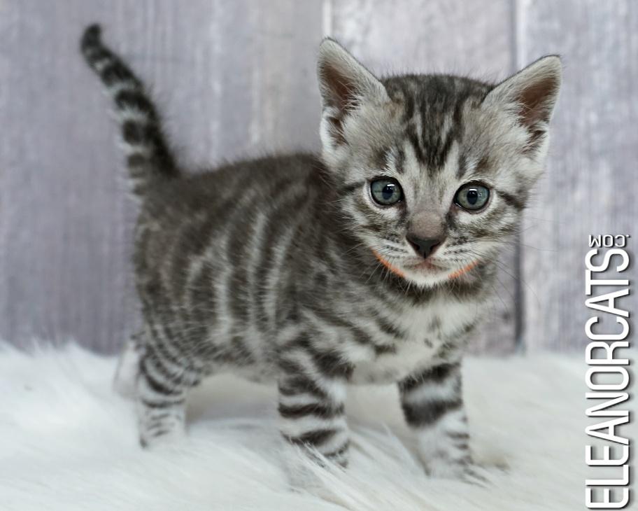 bengal chaton silver kitten eleanorcats
