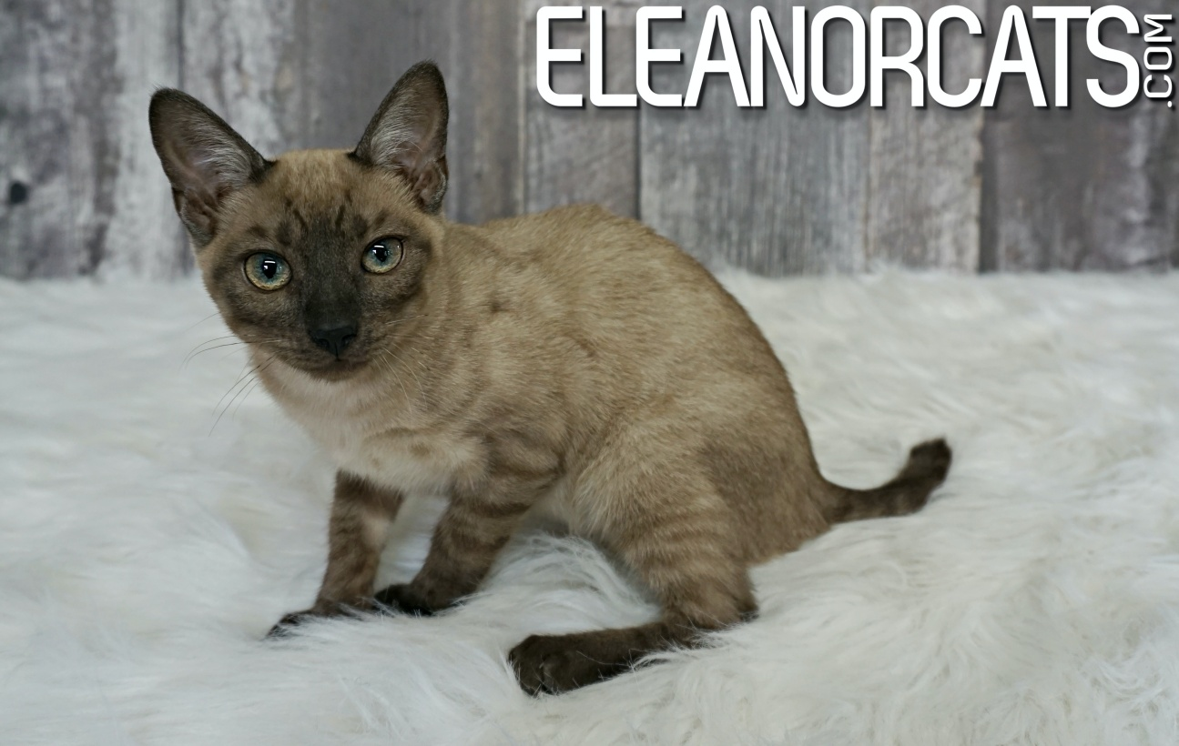 Bengal silver solid mink eleanorcats