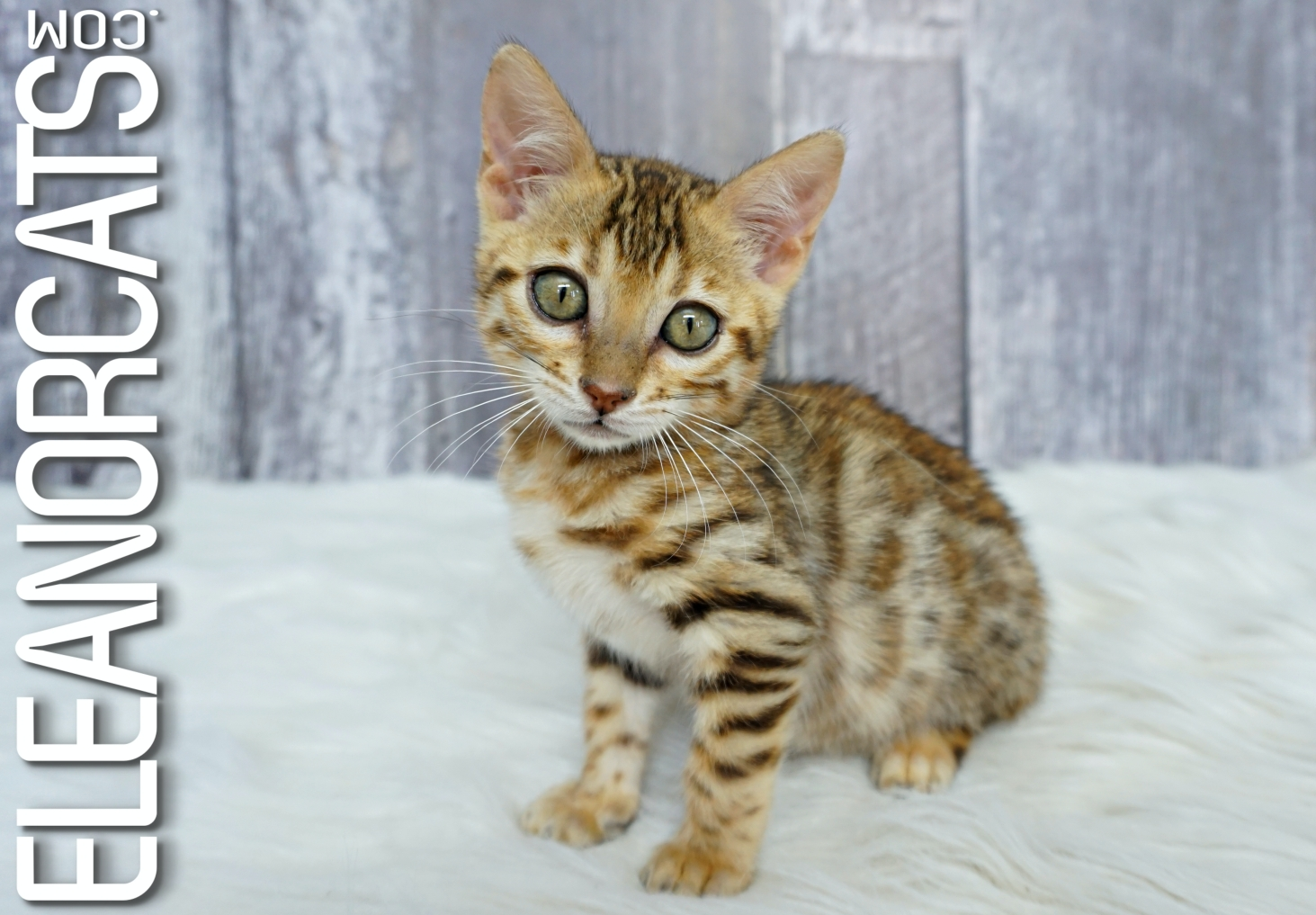 eleanorcats bengal brown spotted tabby