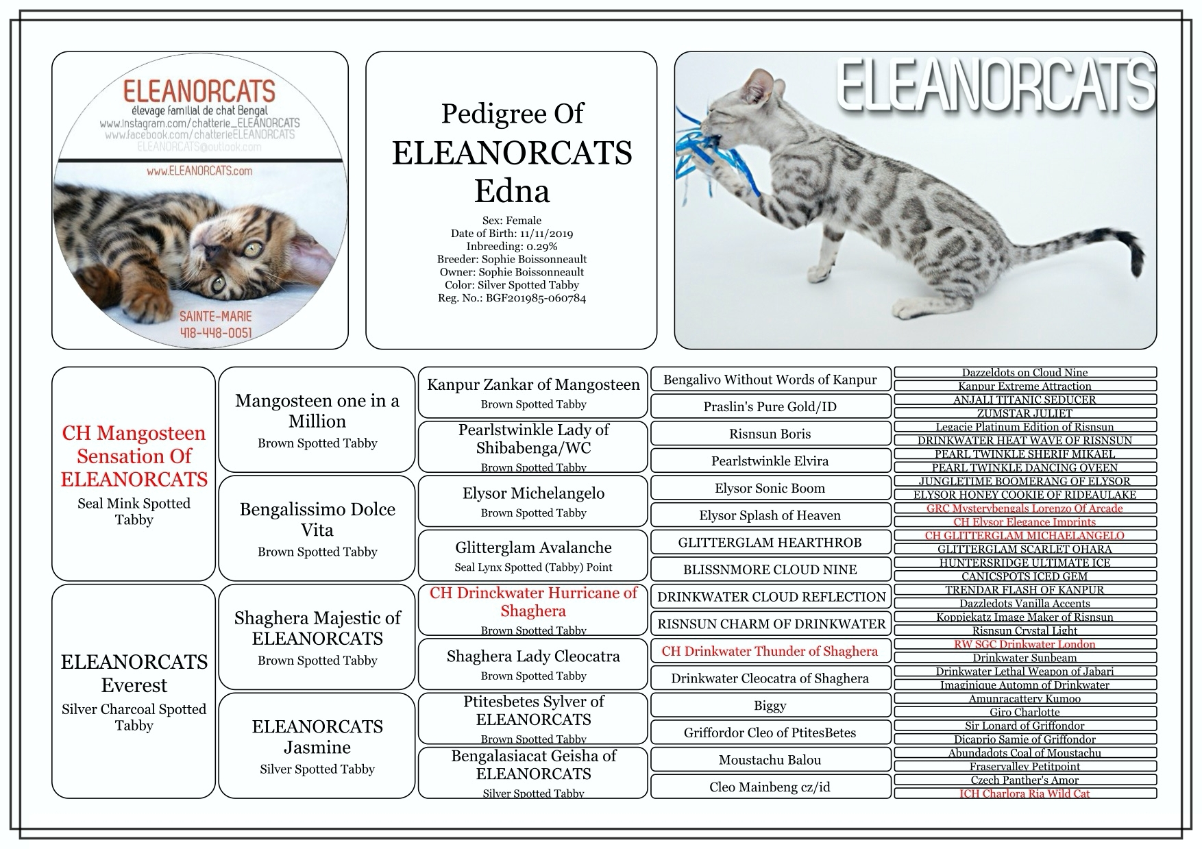 Edna - Pedigree bengal cat silver