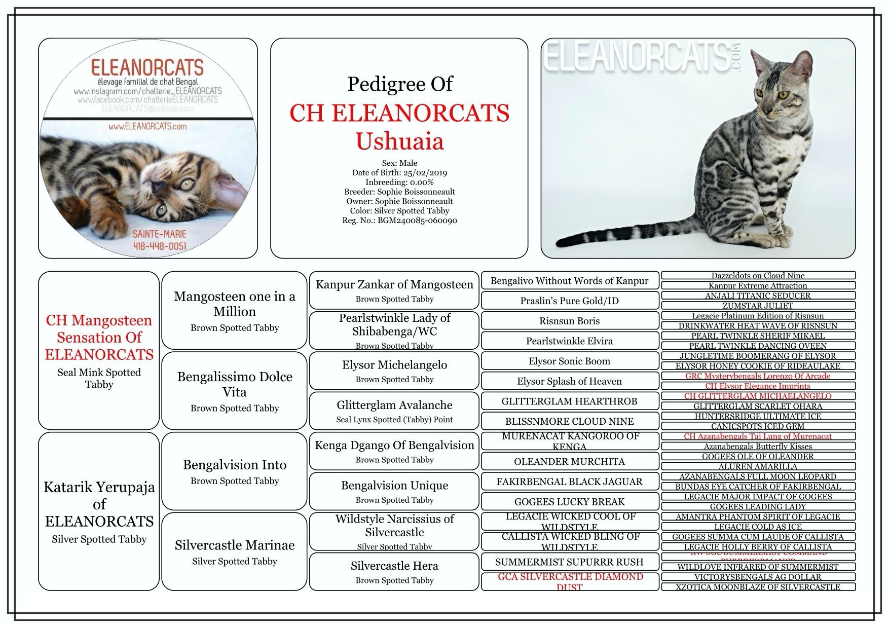 Ushuaïa - Pedigree bengal cat silver