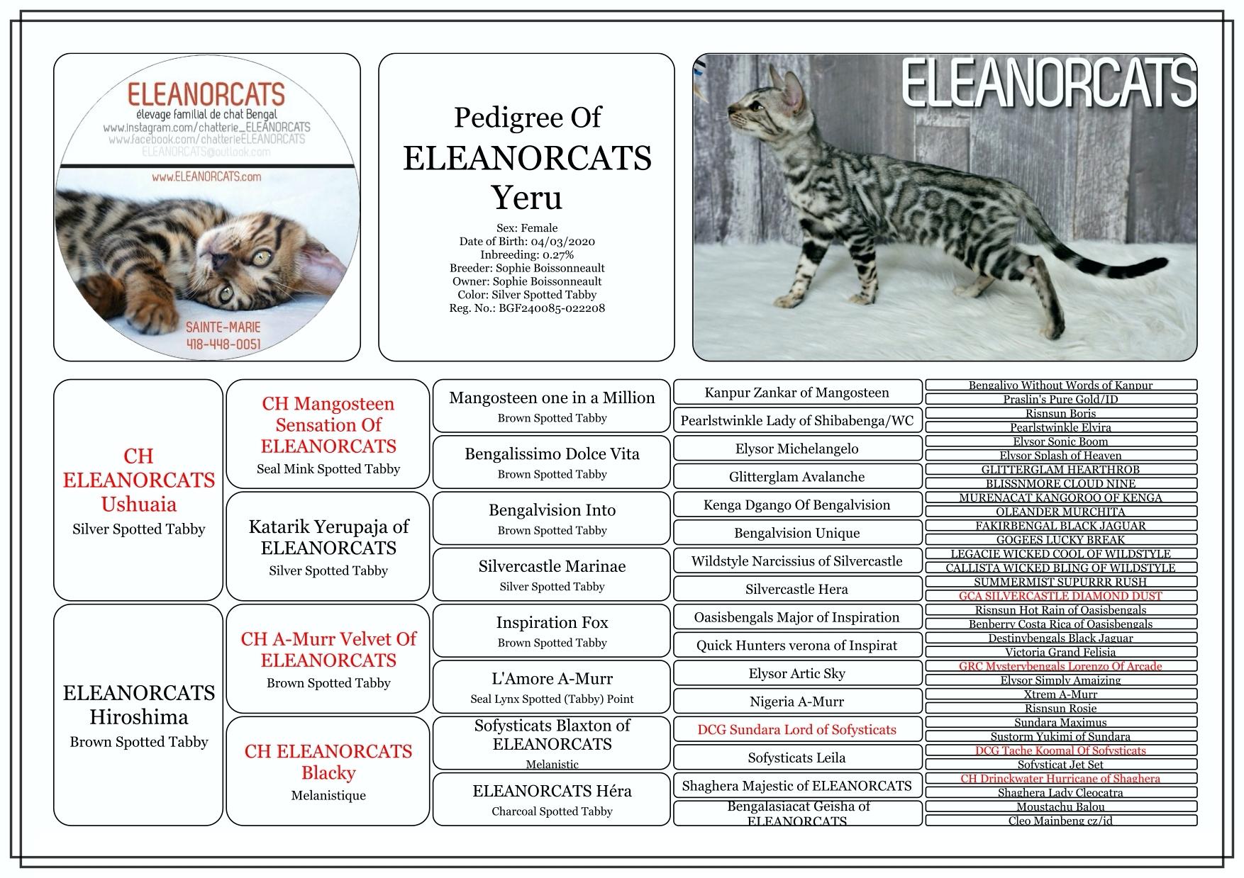 Yeru - Pedigree silver bengal cat