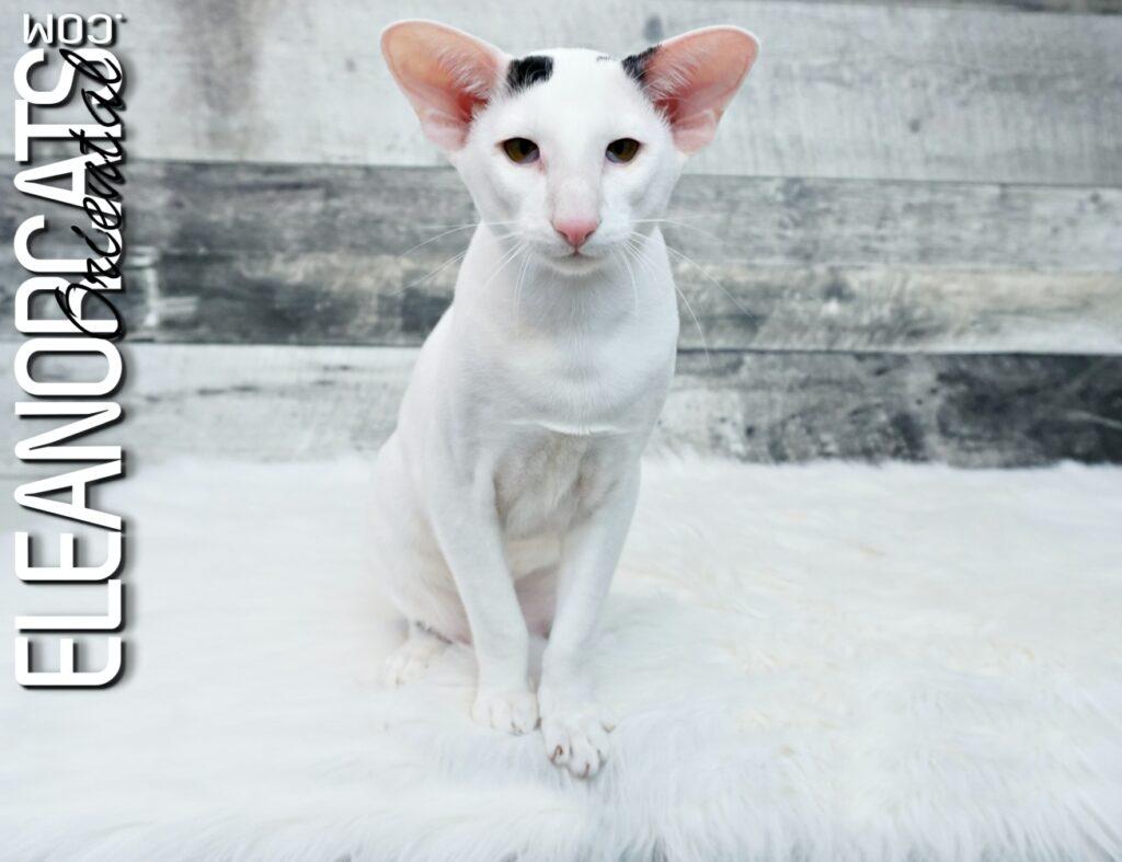 ELEANORCATS Oriental shorthair noir et blanc