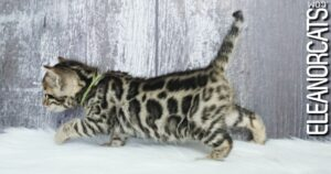 bengal kitten brown spotted tabby ELEANORCATS