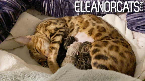 Bengal Brown Spotted Tabby ELEANORCATS