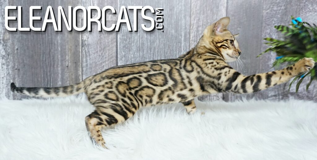 Bengal cat borwn spotted tabby ELEANORCATS