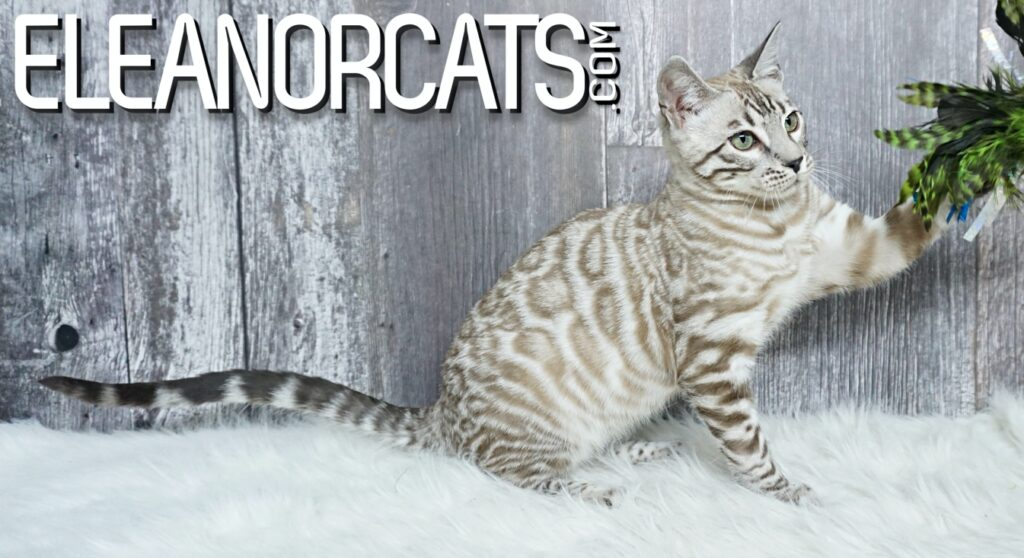 Bengal cat silver mink spotted tabby ELEANORCATS